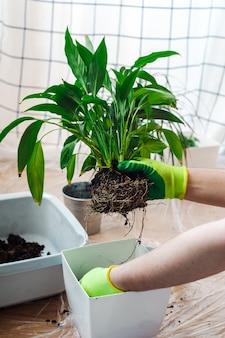 Mann gärtner, der zimmerpflanze spathiphyllum verpflanzt. hausgarten-konzept.