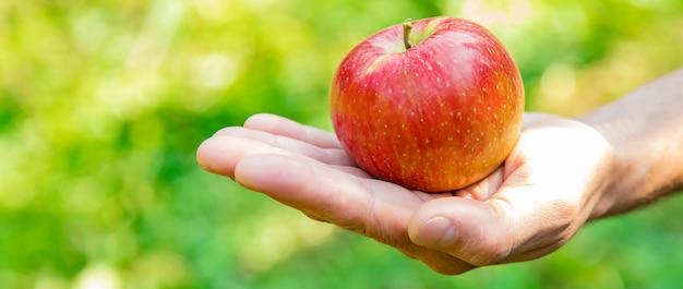 Mann gärtner pflückt äpfel im garten im garten. selektiver fokus.