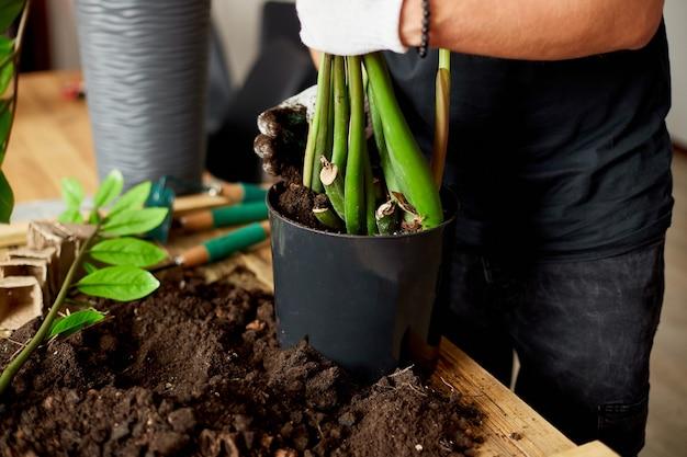 Mann legte erde in schwarzen topf mit zamioculcas auf holztisch, verpflanzte zimmerpflanzen, hobbys und freizeit, hausgarten.