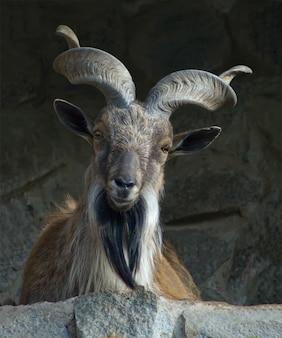 Mann markhor (wilde ziege) mit großen gekräuselten hörnern, nahaufnahmeporträt