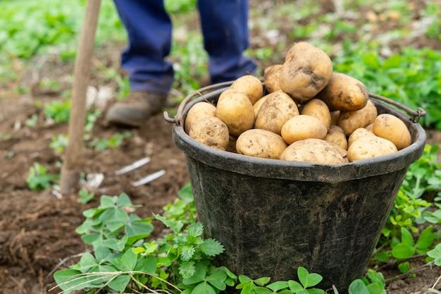Mann mit eimer voll frisch geernteter kartoffeln landwirtschaftliches konzept.