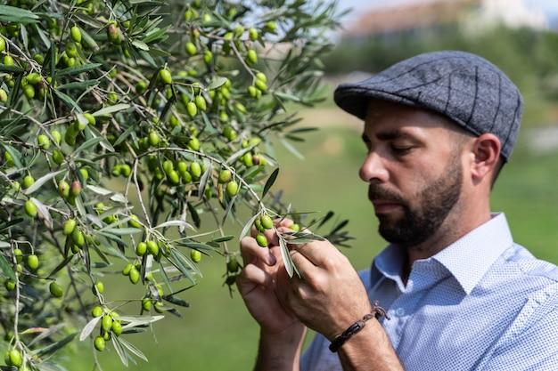 Mann mit einer baskenmütze, die grüne oliven von einem baum pflückt