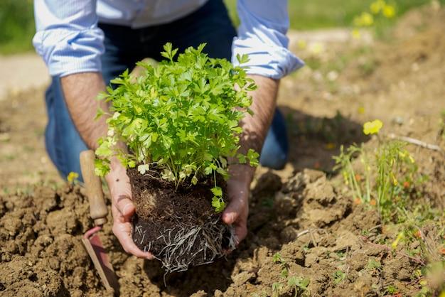 Mann pflanzt frische petersilie