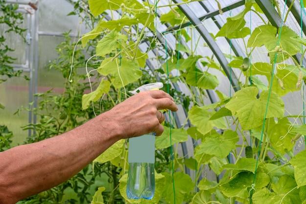 Mann sprüht gurkenpflanze in einem gewächshaus für krankheiten