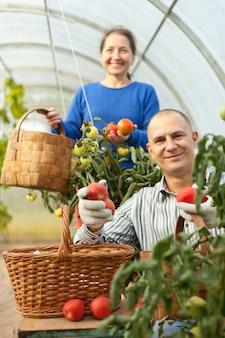 Mann und frau tomaten pflücken