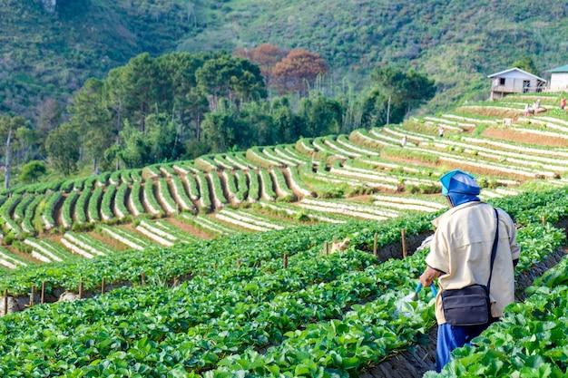Manngärtner, der erdbeerpflanze im bauernhof wässert