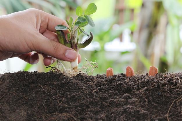 Mannhände, die samen in den boden pflanzen