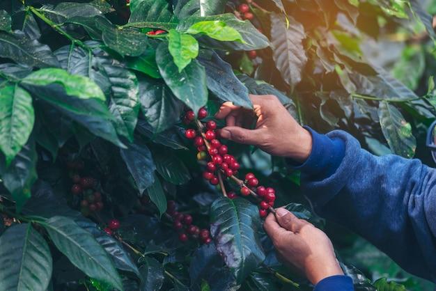 Mannhände ernten kaffeebohne reif rote beeren pflanzen frisches samenkaffeebaumwachstum im grünen öko-bio-bauernhof. nahaufnahme der hände, die rote reife kaffeesamen robusta arabica-beere ernten, die kaffeefarm erntet