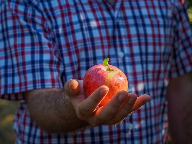 Mannhände in der ernte von roten äpfeln
