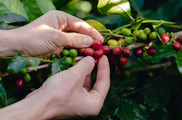 Mannhände sammeln kaffee. kaffeepflanzenzweig.