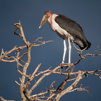 Marabustorch, serengeti-nationalpark, serengeti, tansania, afrika