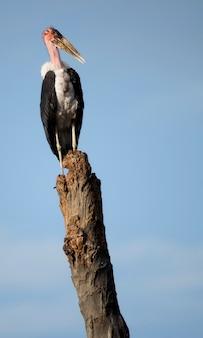 Marabustorch thront auf zweig, tansania, afrika