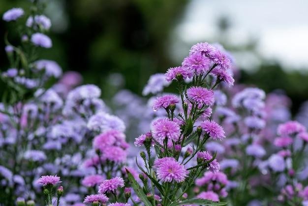Marguerite lila blüten in der natur.