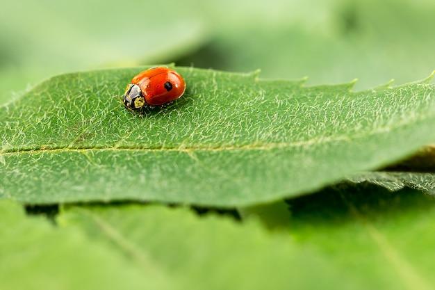 Marienkäfer auf einem grünen blatt
