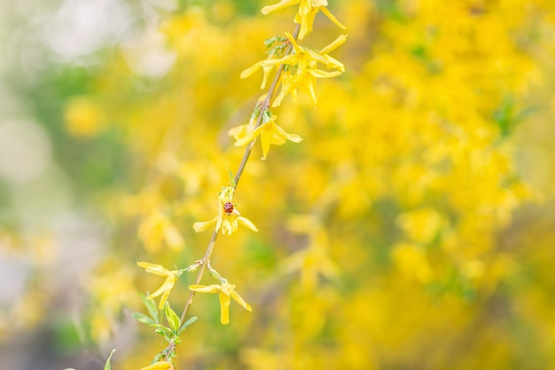 Marienkäfer auf einer gelben forsythieblume. der hintergrund jedoch unscharf. nahaufnahme, weicher selektiver fokus.