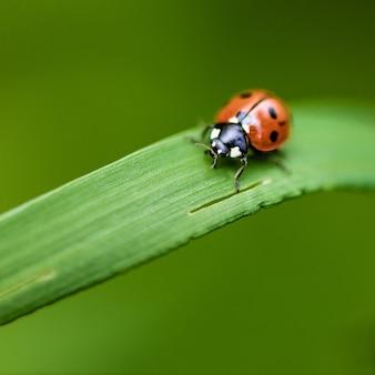 Marienkäfer auf gras makro nahaufnahme