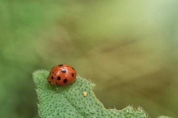 Marienkäfer auf grüner blattnatur