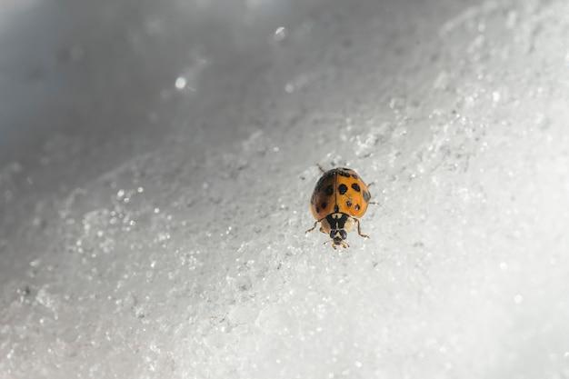 Marienkäfer auf weißem schnee im winter, nahaufnahme, ukraine