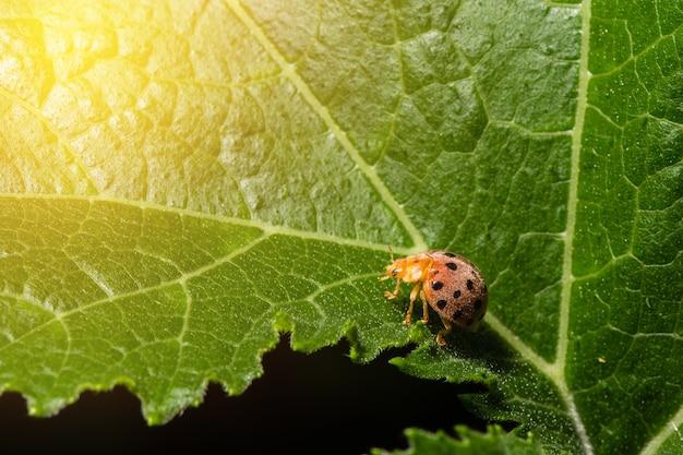 Marienkäfer, der auf einem grünen blatt mit sonne ligh sitzt