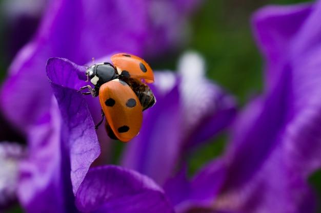 Marienkäfer sitzt auf einer schönen purpurroten blume