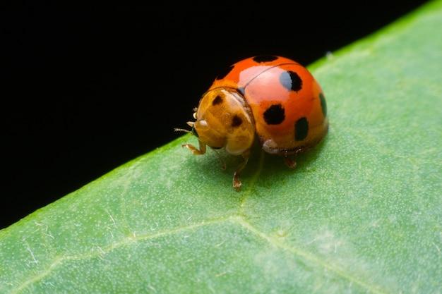 Marienkäferinsekten, die auf grüne blätter gehen.