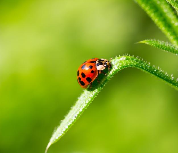 Marienkäferkäfer auf einem grashalm auf einem grünen hintergrund
