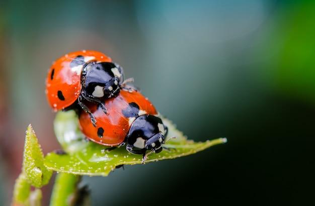 Marienkäferpaare auf grünem blatt, makronahes hohes