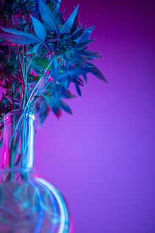Marihuana-büsche in neon, legale verwendung von cannabispflanzen für medizinische zwecke zu hause