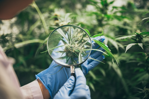 Marihuana hinterlässt cannabispflanzen eine wunderschöne hanf-unkraut-landwirtschaft