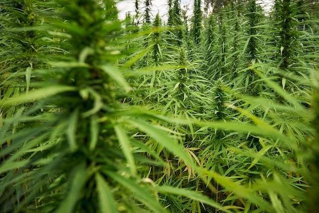 Marihuana hinterlässt cannabispflanzen im farmhintergrund
