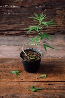 Marihuana im topf auf holztisch