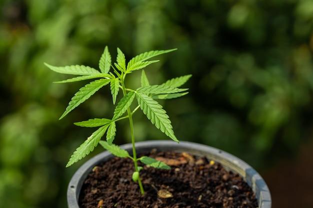 Marihuana in töpfen pflanzen, um medizin herzustellen.
