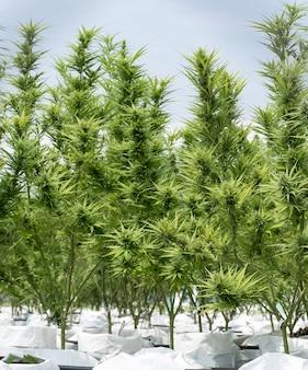 Marihuana- oder hanfbaumsämlinge auf einem landwirtschaftlichen bauernhof im freien, kräuter zur alternativen behandlung.