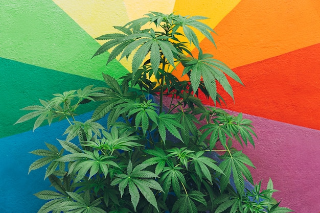 Marihuana-pflanze mit bunter wand im hintergrund
