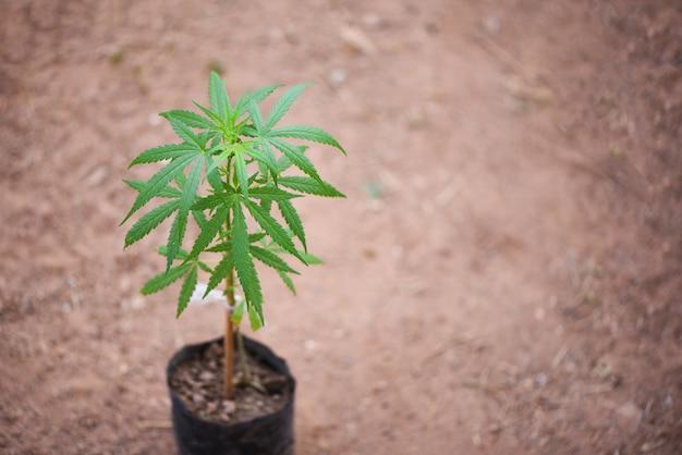 Marihuana wächst im topf zum pflanzen von marihuana mit grünem blatt auf gemahlenem boden - kleine cannabispflanze oder hanfpflanzenanbau für medizinische zwecke