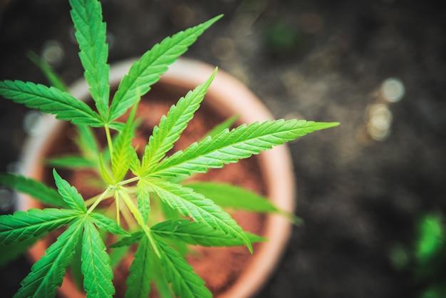 Marihuanaanlage im cannabis-drogenkräuter der draufsicht des topfes.