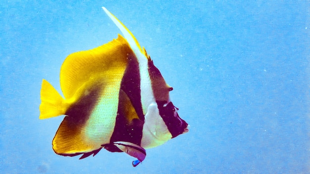 Maskierter fahnenfisch (heniochus monoceros) auf den malediven.