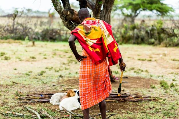 Massai landwirt, der auf seinen ziegen überprüft