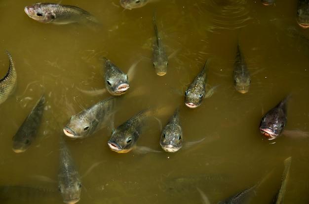 Massen fisch nil tilapia atmen über wasser essen betteln