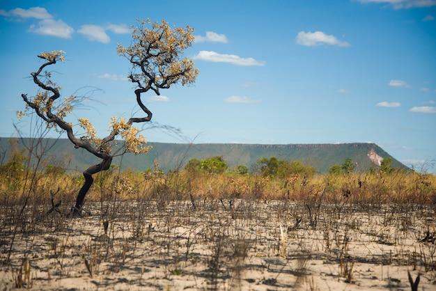 Mateiros, tocantins, brasilien: dürreverbrannter baum in jalapao-ländern und großer berg