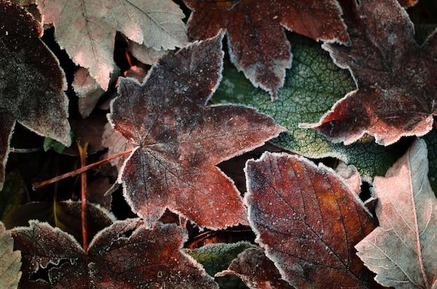 Matt trockener herbstlaub. ahornblätter bedeckt durch frost des frühen morgens