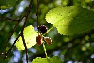 Maulbeeren im baum