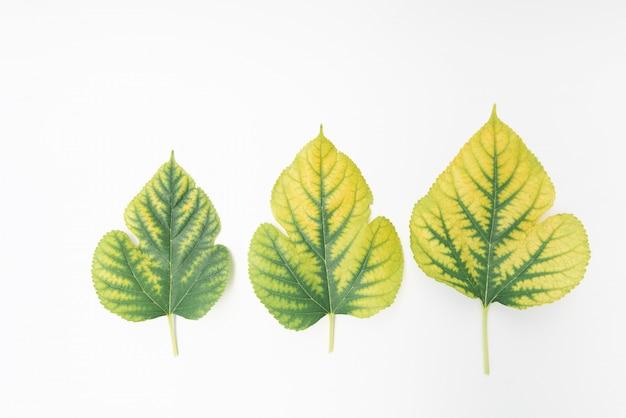 Maulbeergrünblätter lokalisiert auf weißem hintergrund