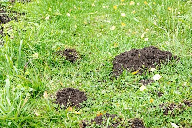 Maulwurfslöcher im hof, rasen durch maulwürfe beschädigt