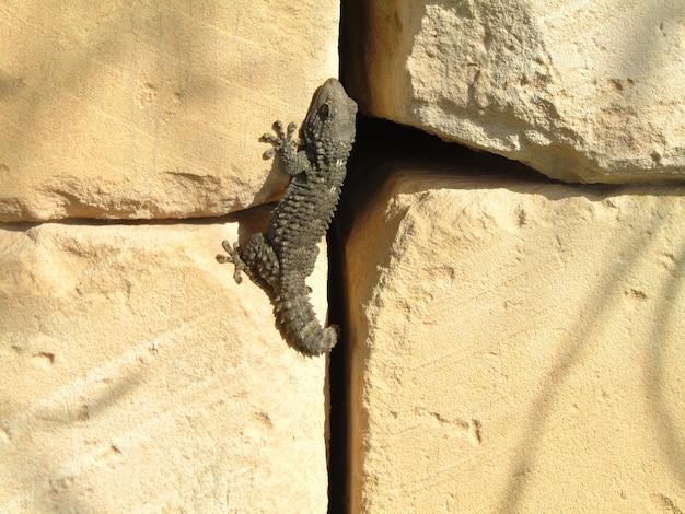 Maurischer gecko auf einem felsen unter der sonne