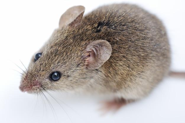 Maus isoliert auf weißem hintergrund