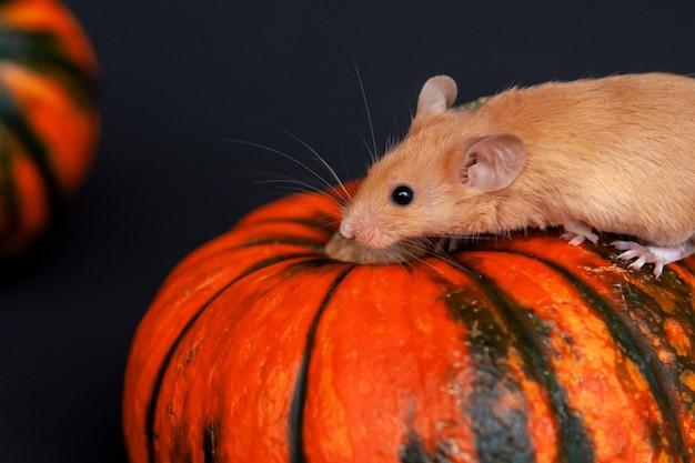 Maus mit kürbis auf einem dunklen hintergrund. halloween-konzept