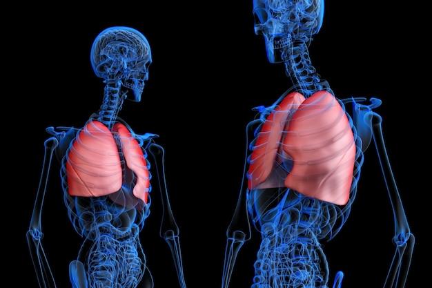 Medizinisch genaue 3d-darstellung der männlichen menschlichen anatomie mit rot hervorgehobenen lungen