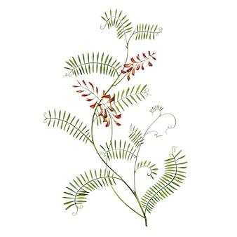 Medizinische büschelige wickenaquarellillustrationen der wildblumen. getrennte blüte, herbariumanlage. genaue botanische illustration.