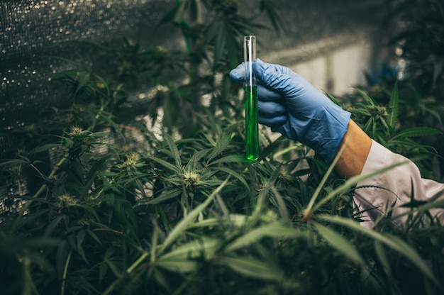 Medizinische marihuana-blütenknospen. freizeit marihuana sorte. cannabis-sorte. unkrautknospe im glas. dispensary-menü. hanfknospen.